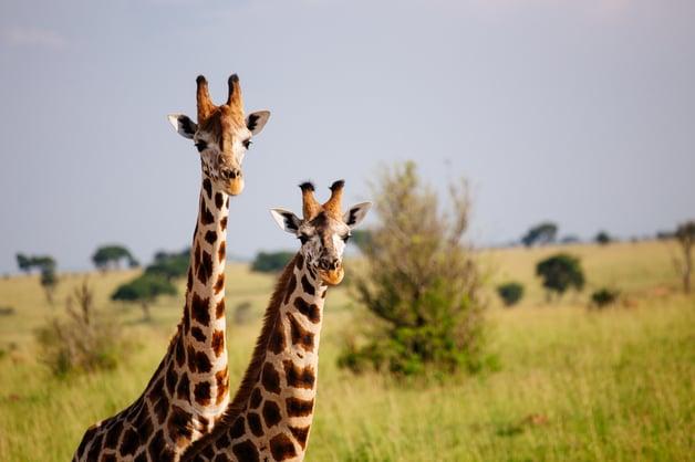 Giraffes at Murchison Falls National Park, Uganda